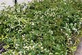 Jasmine Flowers 4 2017-05-14.jpg