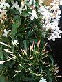 Jasminum polyanthum 2.jpg