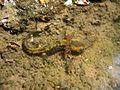 Jeune salamandre.jpg