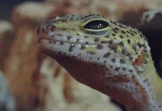 Leopard Gecko Care The Ideal Gecko Terrarium A Zookeeper S Thoughts