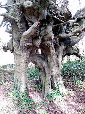 Inosculation - Image: John Wesley's beech trees, Lambeg, Co. Down geograph.org.uk 165436