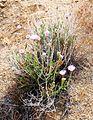 Joshua Tree National Park flowers - Xylorhiza tortifolia - 1.JPG