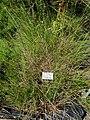 Juncus conglomeratus - Botanical Garden, University of Frankfurt - DSC02719.JPG