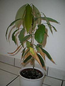 Ли́чи кита́йское, личжи китайские Семена (Lítchi chinénsis)