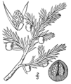 Juniperus communis montana.png