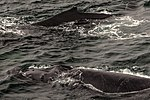 Just as dinner was about to be served we were blessed with a feeding orgy of Humpback whales right in front of the ship, forcing the captain to stop in the middle of the Gerlache strait.spectacular (25369655724).jpg