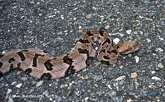 Timber rattlesnake - Juvenile Crotalus horridus, Florida