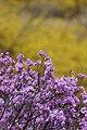 KOCIS Korea Seoul Spring Flowers 07 (8662710892).jpg