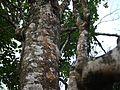 Kaattukarana (Malayalam- കാട്ടുകരണ) (5598044859).jpg