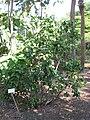 Kampong - Pavonia bahamensis.jpg