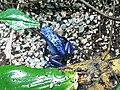Ke - Dendrobates tinctorius azureus - 5.jpg