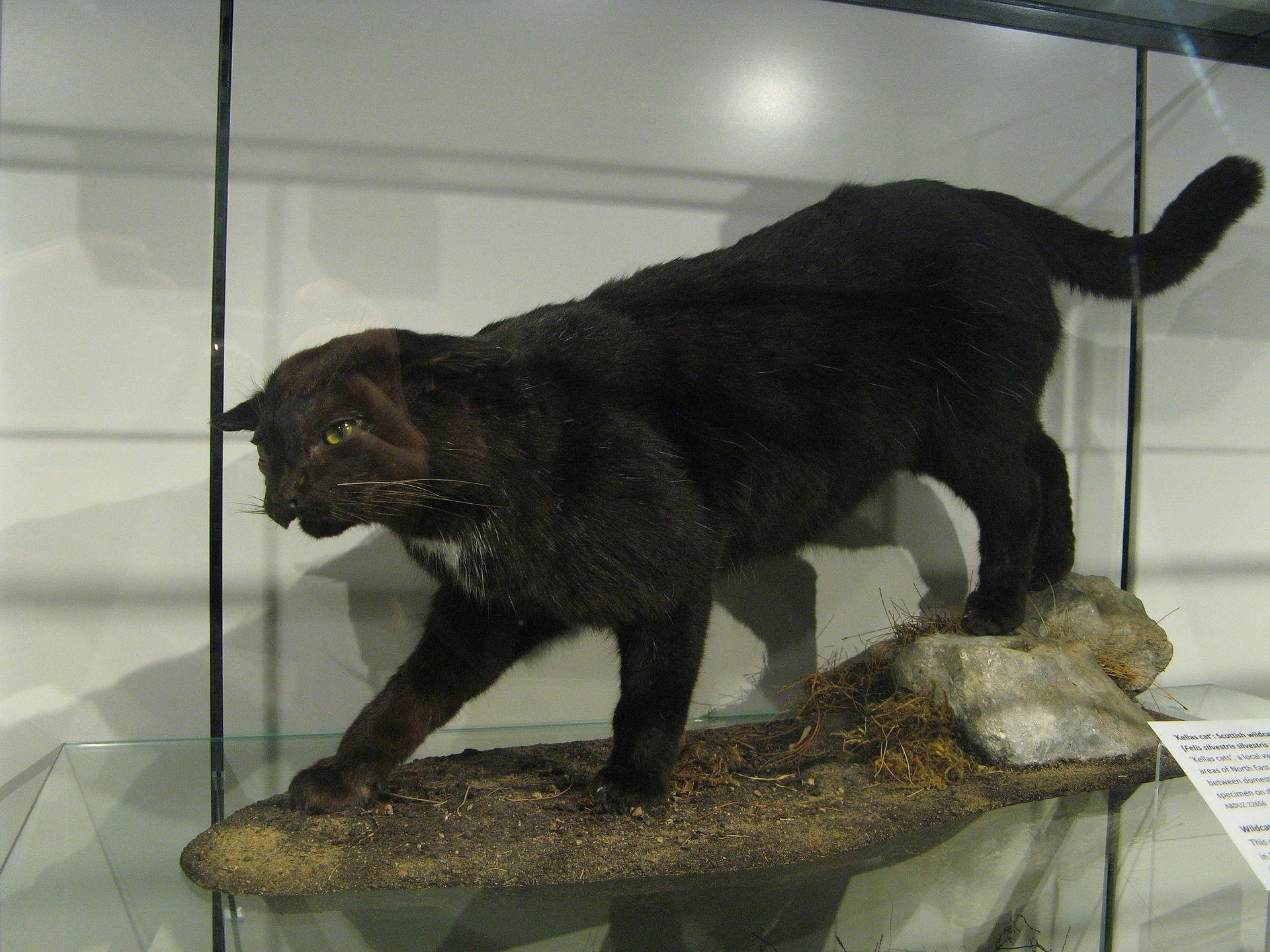 Mounted specimen of a Kellas cat