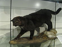 Mounted specimen of a Kellas cat
