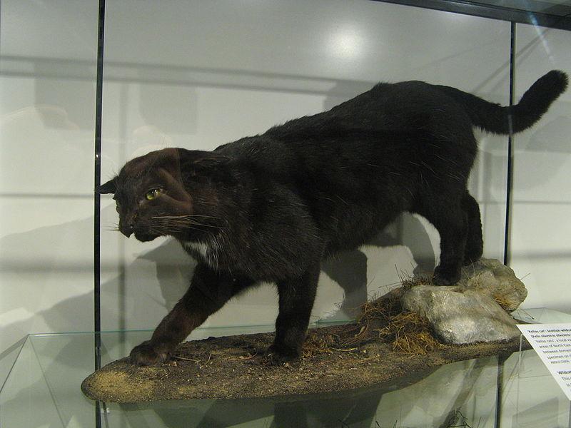 domestic longhair cat breeds