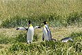 King penguin (Aptenodytes patagonicus) - Parque Pinguino Rey 02.jpg