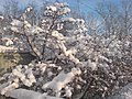 Kiovo street. Bush of hawthorn. January 1 2010. - Улица Киово. Куст боярышника. 1 Января 2010. - panoramio.jpg