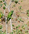 Klaas's Cuckoo (Chrysococcyx klaas) male (31463347044).jpg