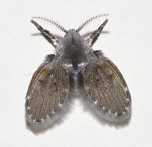 Schmetterlingsmücken Clogmia