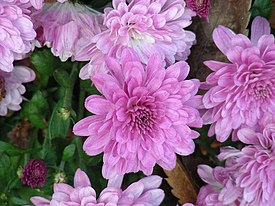 Korea-Chrysanthemum-01.jpg