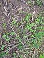 Korina 2012-06-12 Heracleum mantegazzianum 10.jpg
