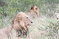 Kruger Lions (2271553931).jpg