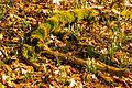 Kvetoucí sněženky v PP Sněženky ve Vysokém lese 03.jpg