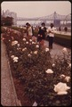LATE-BLOOMING ROSES IN THE GARDEN OF THE UNITED NATIONS HEADQUARTERS BETWEEN EAST 42ND AND EAST 48TH STREETS ON THE... - NARA - 551785.tif