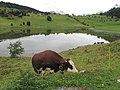 Lac des Confins and Abondance cattle.jpg