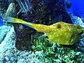 Lactoria cornuta.009 - Aquarium Finisterrae.JPG