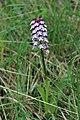 Lady Orchid - Orchis purpurea (11947223365).jpg