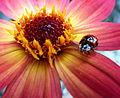 Ladybird (5946806503).jpg