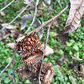 Ladybug closeup on thistle.JPG