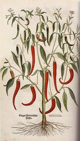 Langer Indianischer Pfeffer Leonhart Fuchs 1543