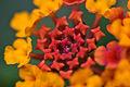 Lantana flower.jpg