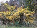 Larch tree by the Oxnam Water - geograph.org.uk - 615378.jpg