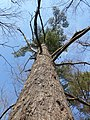 Large eastern white Pine in Southern Ontario, Canada.jpg