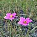 Largeflower Rose Gentian (5688558040).jpg