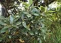 Laurus novocanariensis kz01.jpg