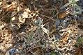 Lavandula angustifolia Munstead 1zz.jpg