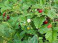 Le fragoline di bosco.jpg