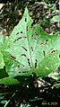 Leaf holes in lines.jpg