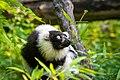 Lemur (26245044389).jpg