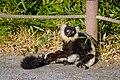 Lemur (26619243497).jpg