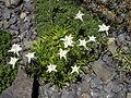 Leontopodium alpinum 'Mignon' 1.JPG