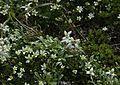 Leontopodium shinanense 07s Kisokoma.JPG