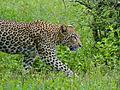 Leopard (Panthera pardus) (12907304054).jpg
