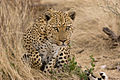Leopard about to Pounce (3684691845).jpg