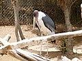 Leptoptilos crumeniferus - marabou - Marabu - marabout d'Afrique - 03.jpg