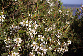 Leptospermum laevigatum flowers and foliage.jpg