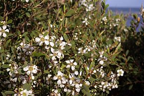 Description de l'image Leptospermum laevigatum flowers and foliage.jpg.